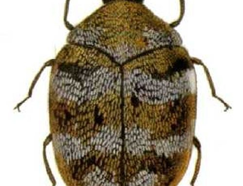 Anthrenus spp.