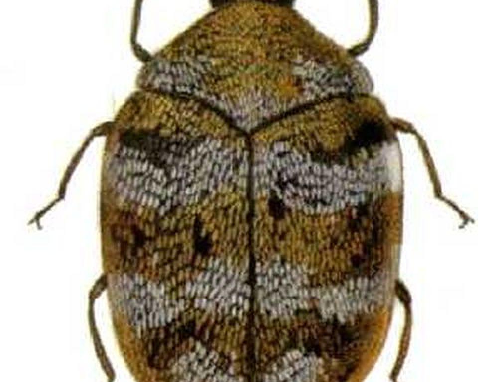 Anthrenus spp.
