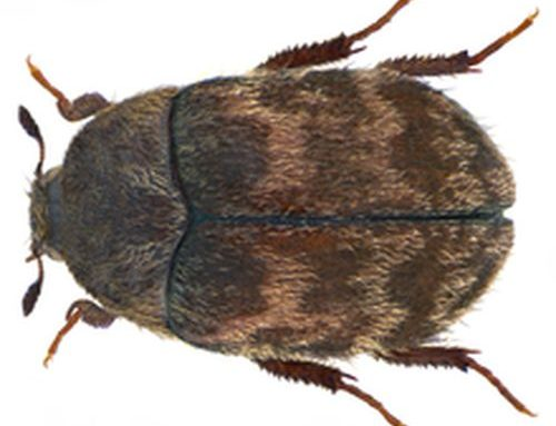 Anthrenus spp e Attagenus spp