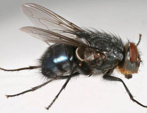 Calliphora spp. o Moscone blu della carne