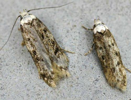 Endrosis sarcitella o Falena dalle spalle bianche