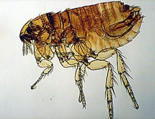 Ctenocephalides felis o Pulce del gatto