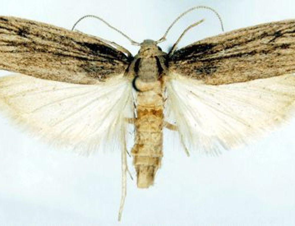 Corcyra cephalonica o Falena del riso