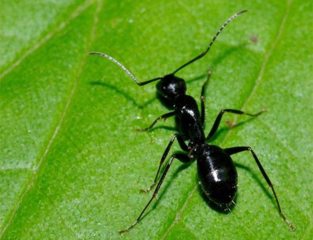 Lasius niger o Formica nera