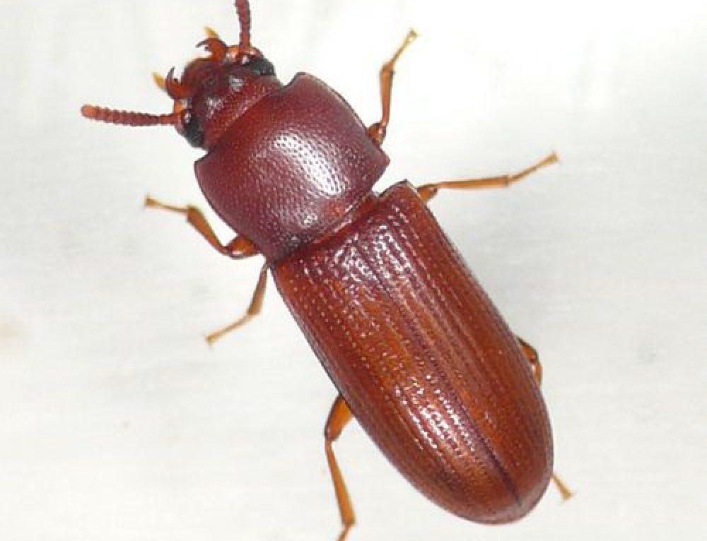 Gnatocerus spp