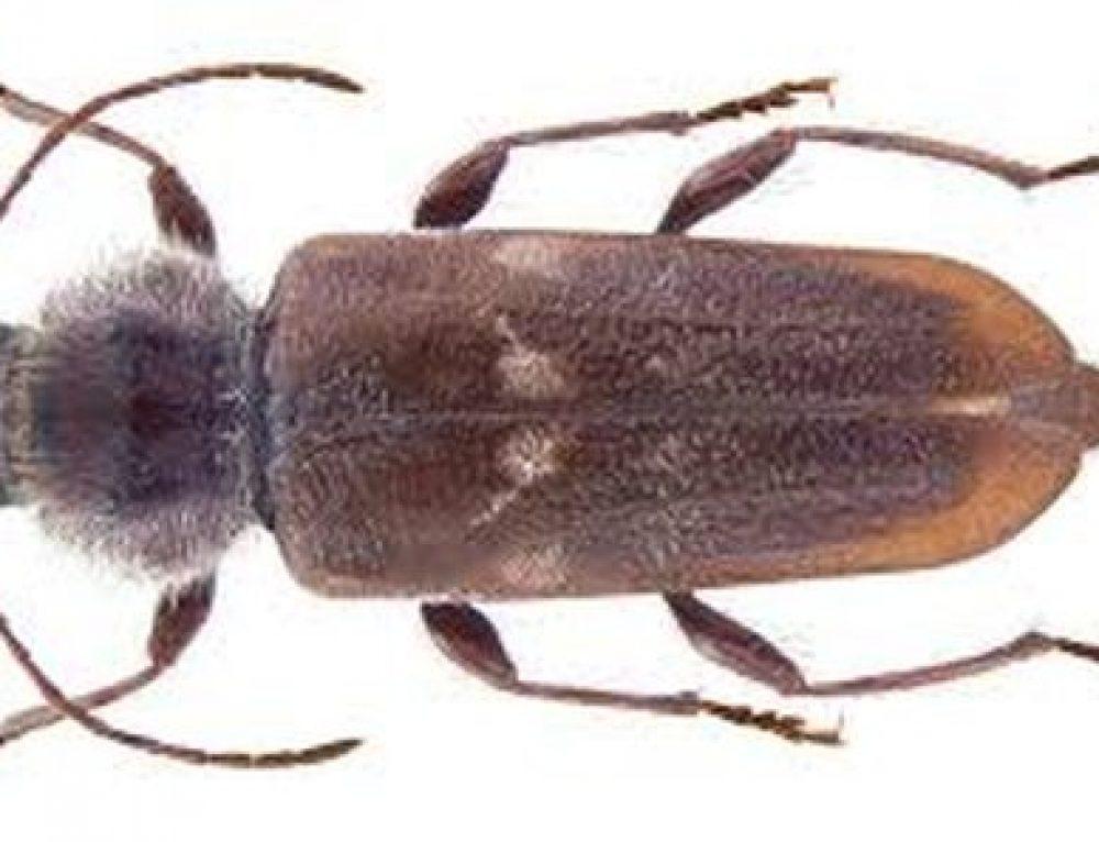 Hylotrupes ajulus (Capricorno)