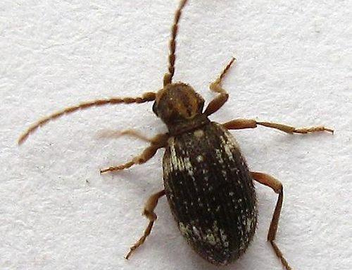 Ptinus spp.
