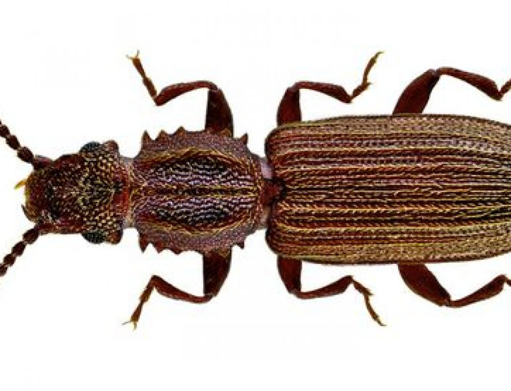 Oryzaephilus spp o Silvano