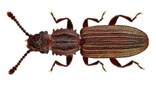 Oryzaephylus
