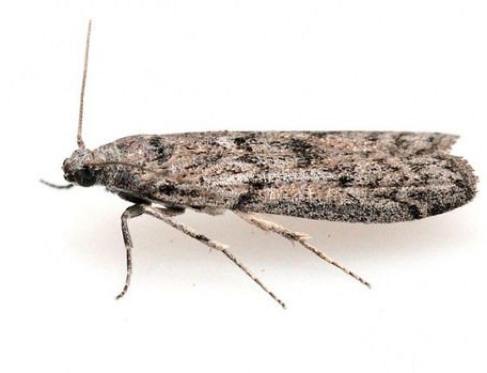 Ephestia kuehniella o Tignola grigia delle derrate