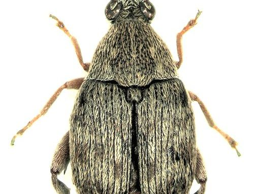 Acanthoscelides obtectus o Tonchio del fagiolo