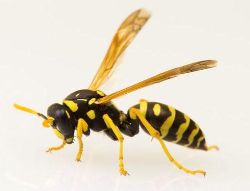Polistes spp. o vespa cartonaia