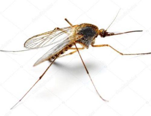 Anopheles spp. o Zanzara anofele