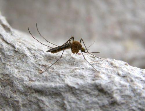 Culex pipiens o Zanzara comune